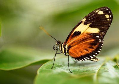 Mariposa / butterfly, Ecuador.