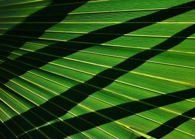 Hoja de palmera, palm leaf, Florida, USA.