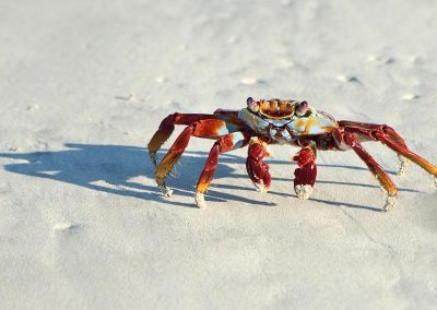 Cangrejo rojo / red crab,  Islas Galapagos, Ecuador.