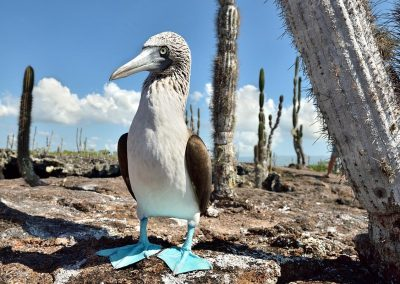 Piquero patas azules, Islas Galapagos, Ecuador.