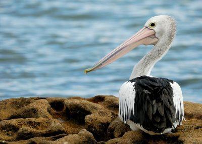 Pelicano australiano, Australia.