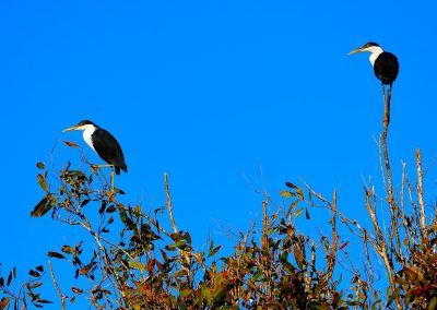 Garceta pía, Pied Heron, Kakadu National park, Australia.