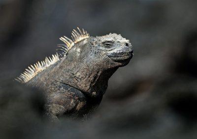 Iguana, Islas Galapagos, Ecuador.