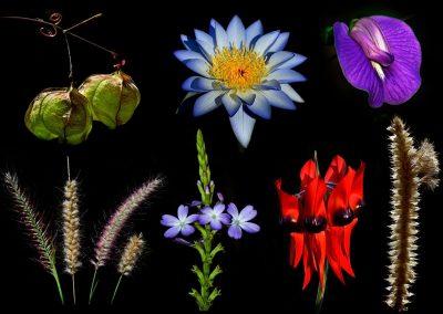 Flores / flowers, Northern Territory, Australia