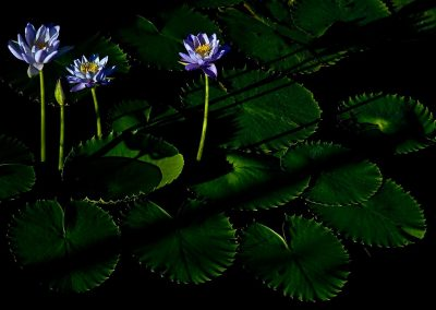 Nenufar / water lily, Northern Territory, Australia.