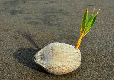 Coco de palmera, palm coconut, Costa Rica.