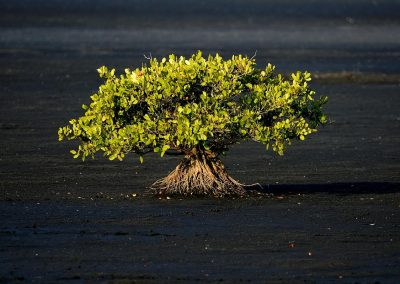 Arbol / tree, Everglades, Florida, USA.