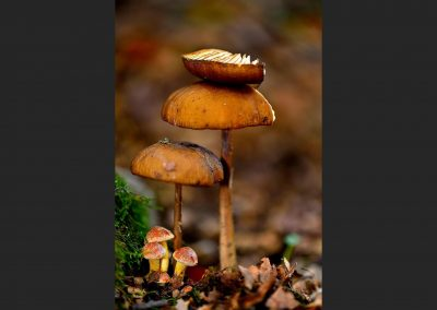 Setas, fungi, Hayedo Pedrosa, Spain.