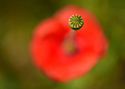 Amapola poppy, Spain.