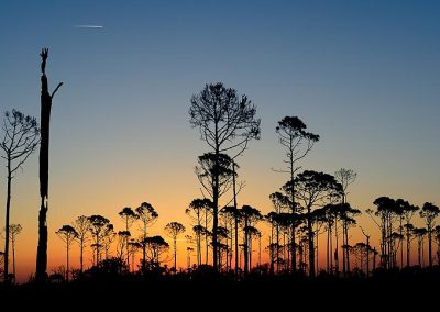 Bosque quemado. / burned forest, Florida. USA.