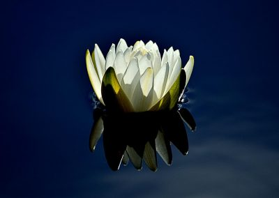 Nenufar / water lily, Australia.