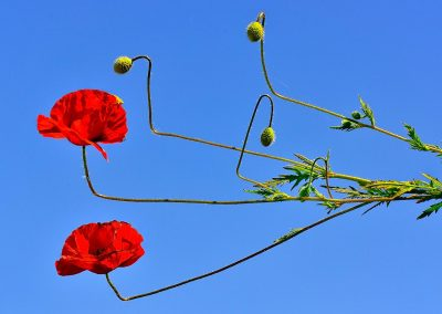 Amapola, poppy, Spain.