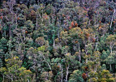Eucaliptus forest, Australia.