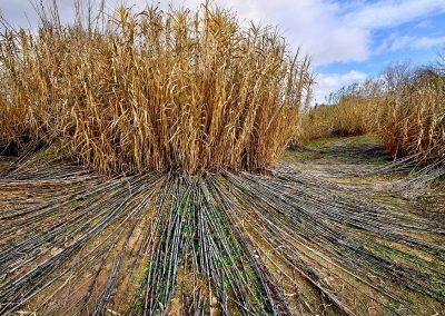 Carrizal / reedbed, Parque Sureste, Spain.