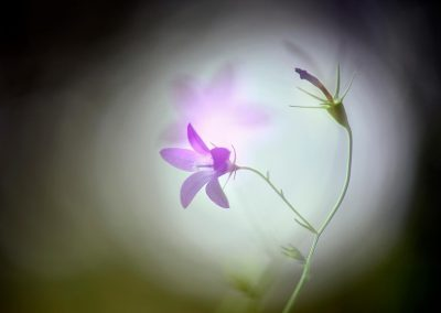 Flor campanilla, Spain. (M)