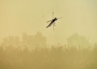Mosquito. Spain. (M)