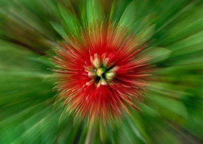 Efecto zoom de flor / zoom efect flower, Victoria, Australia.