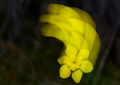 Narciso / daffodil, Extremadura, Spain.