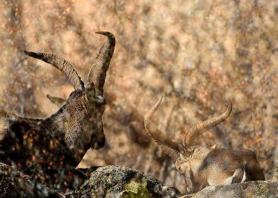 Cabra hispánica, La Pedriza. Spain. (M)