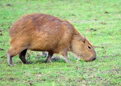 Carpincho o capibara. Esteros del Iberá.
