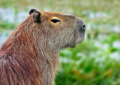 Carpincho o capibara.