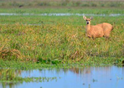 Ciervo de los pantanos, Esteros del Iberá.