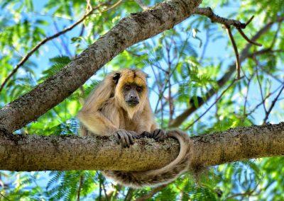 Mono aullador, Esteros del Iberá.