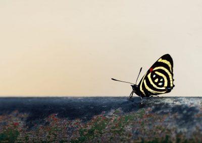 Mariposa en Iguazú.