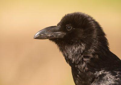 Cuervo grande (Corvus corax)