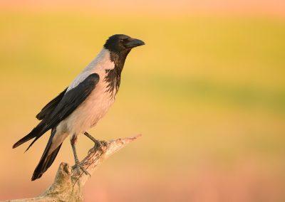 Corneja cenicienta  (Corvus cornix)