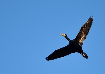 Cormorán (Phalacrocorax carbo)