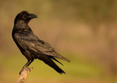 Graja (Corvus frugilegus)