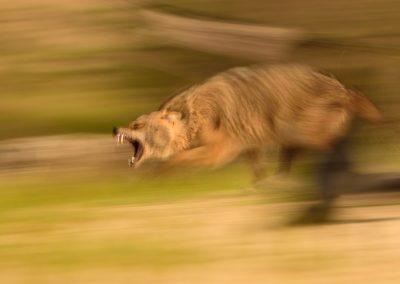 Chacal dorado Europeo (Canis aureus moreoticus)